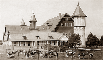 Cows in front of the Dairy Barn at the UW College of Agriculture, ca. 1910